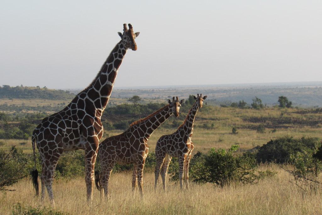 Reticulated giraffe in northern Kenya