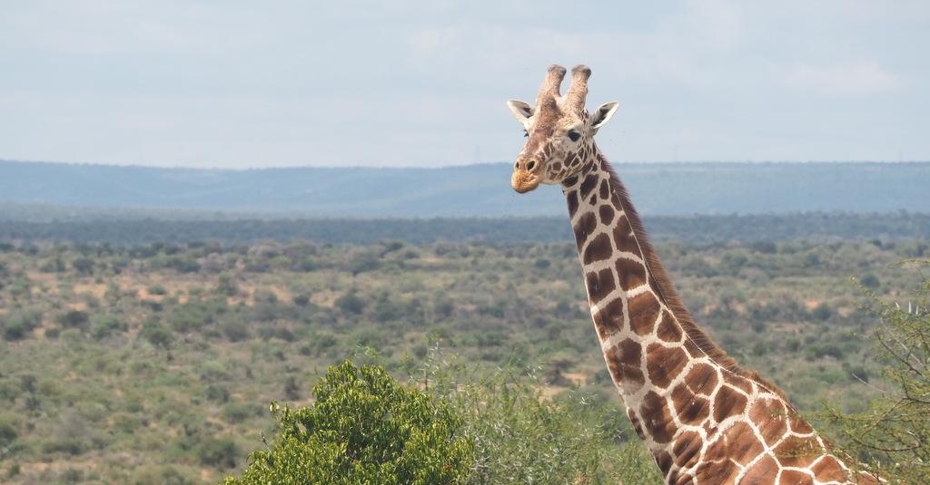 Reticulated giraffe male in Kenya