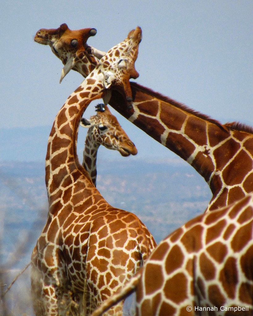 Reticulated giraffe necking and a tagged giraffe