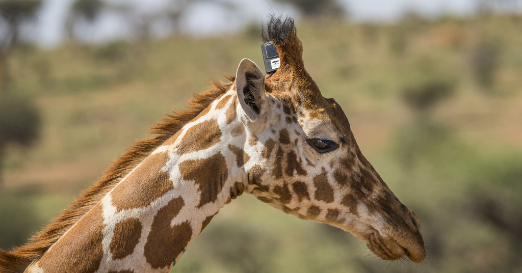 Reticulated giraffe fitted with tracking unit