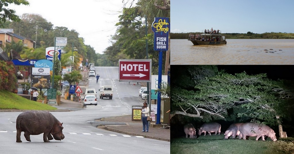 Three images showing hippos at night, in the street, in the water