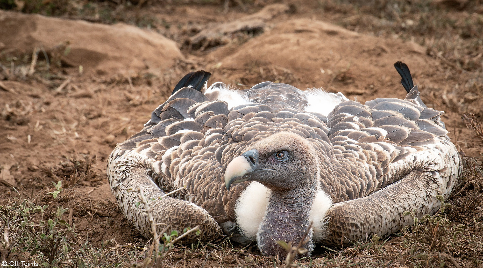 A Rüppell's vulture digesting after a hefty meal in the Ol Kinyei Conservancy, Kenya