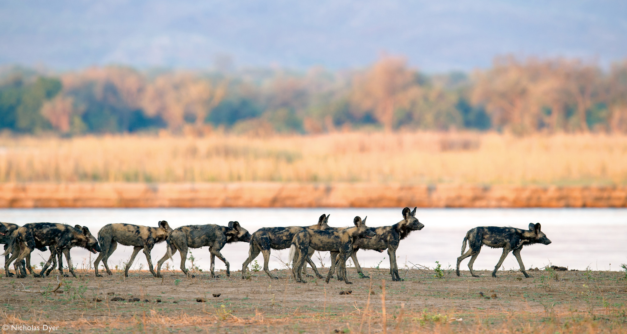 Painted wolf pack, African wild dog pack, on the hunt in Mana Pools in Zimbabwe