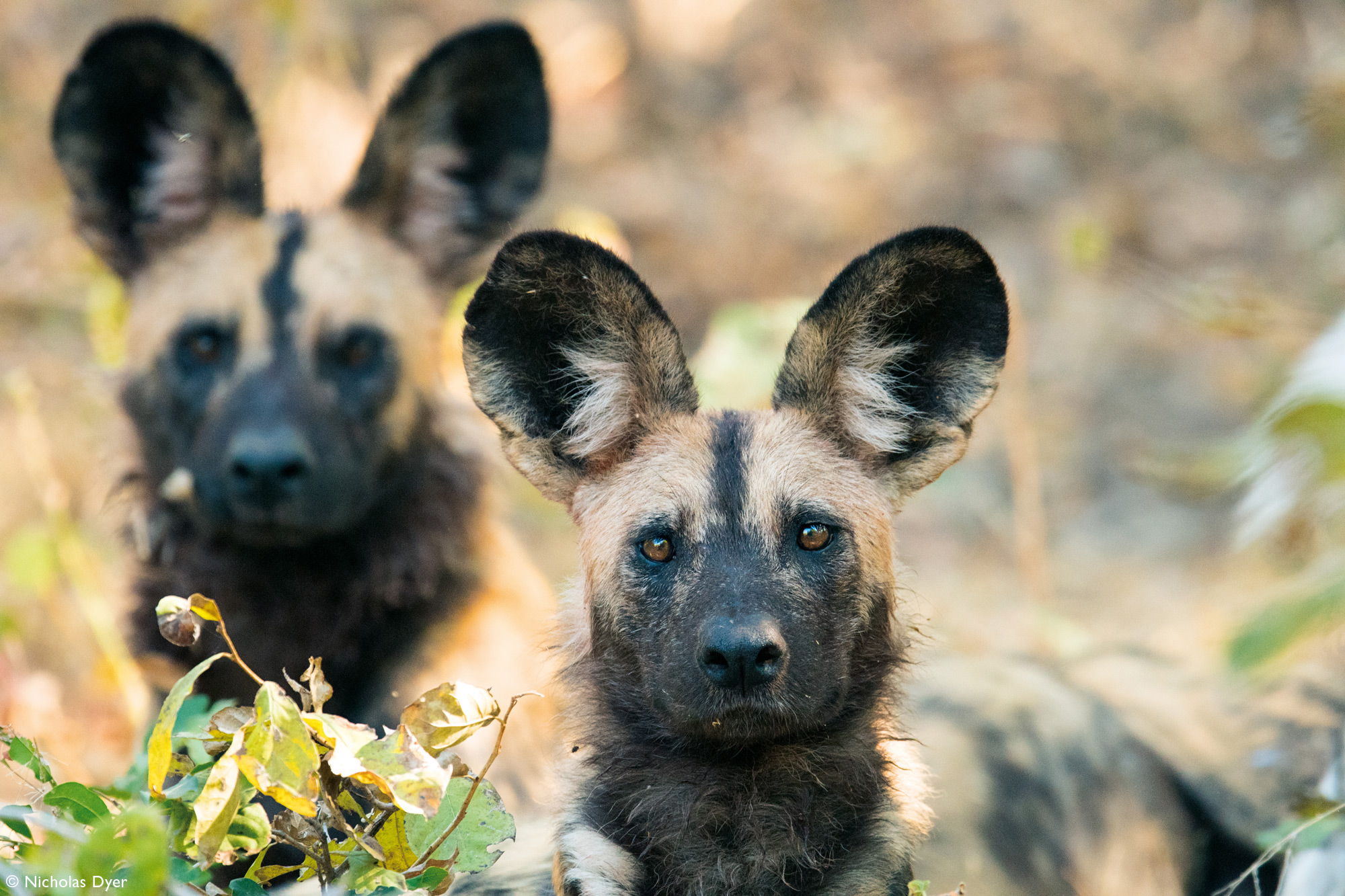 Painted wolves, African wild dogs, alpha male and female in Mana Pools, Zimbabwe