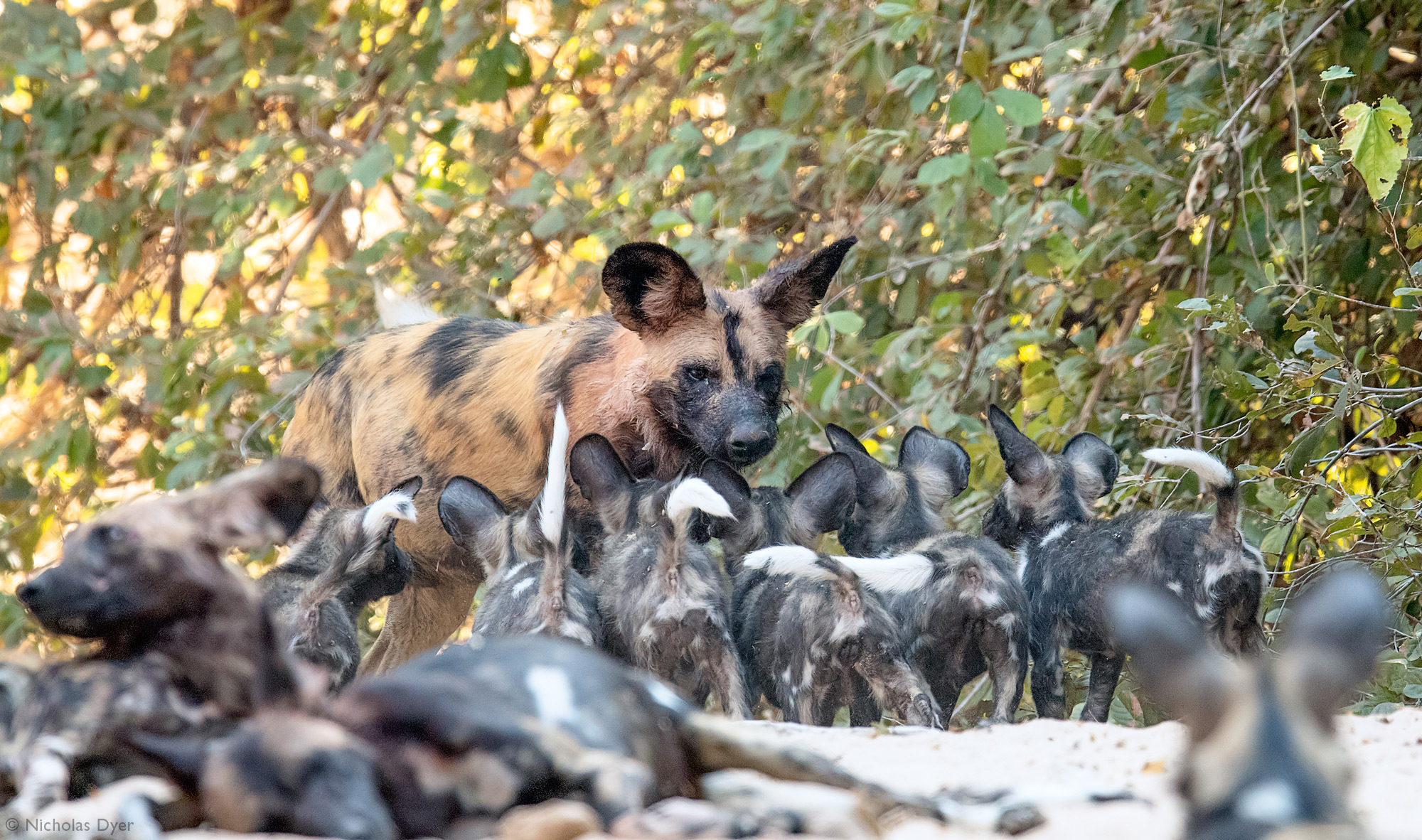Painted wolf adult surrounded by puppies in Mana Pools in Zimbabwe