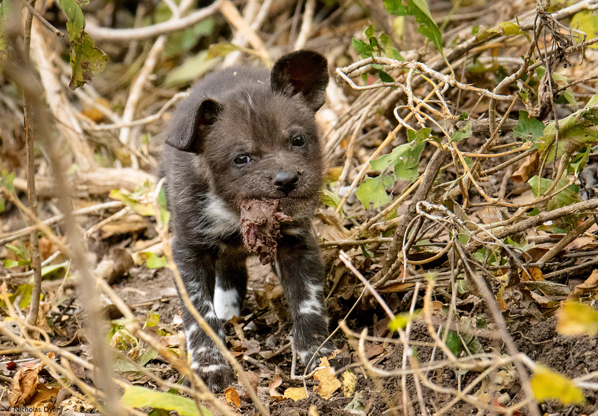 Painted wolf puppy with food in Mana Pools in Zimbabwe