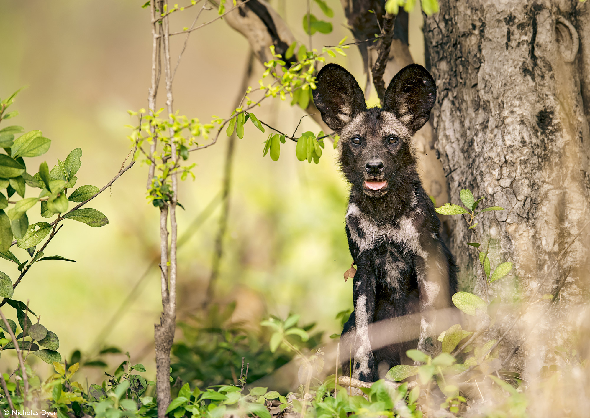 Juvenile painted wolf, African wild dog, in Mana Pools in Zimbabwe