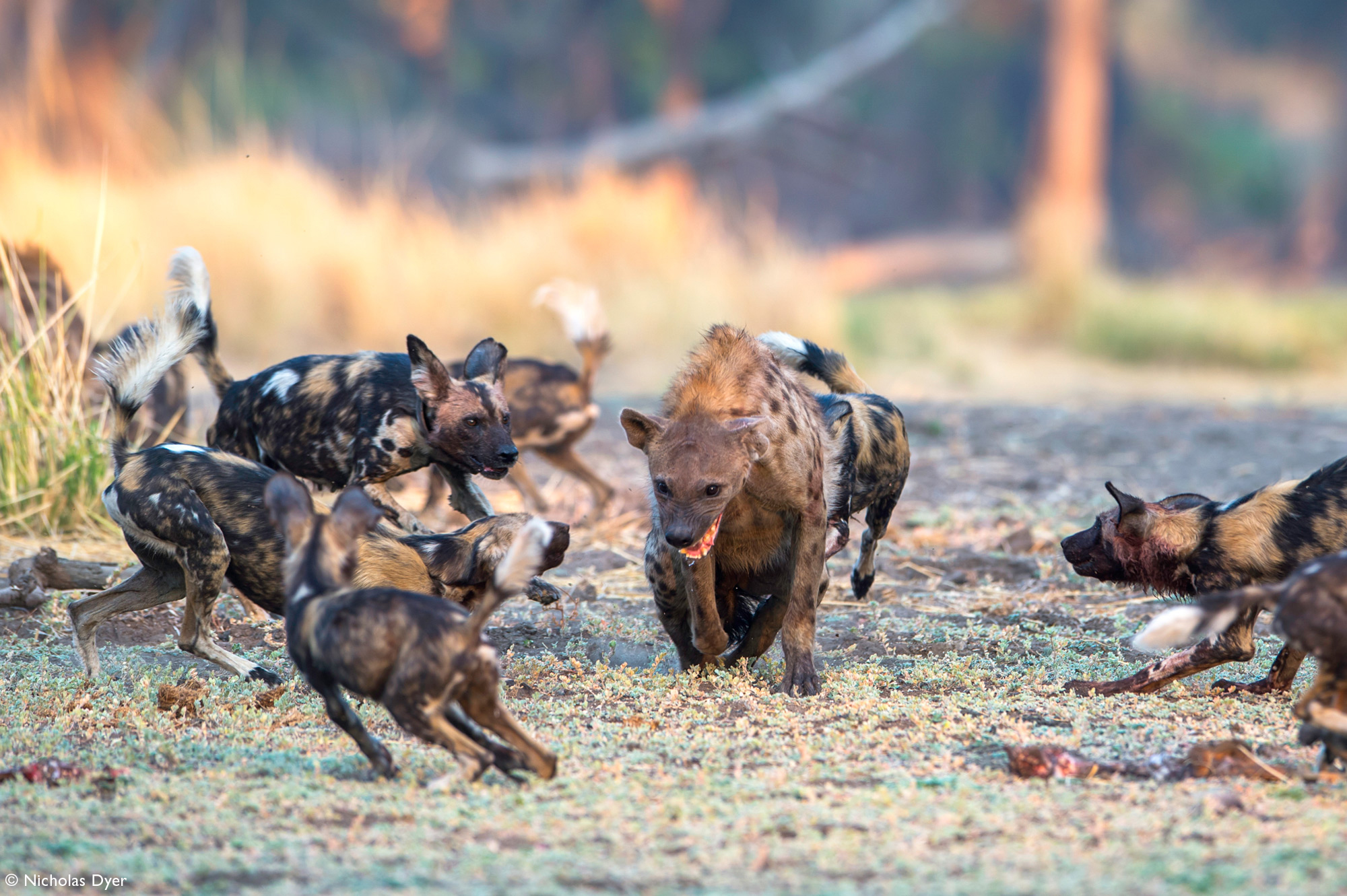 Hyena surrounded by a pack of painted wolves, African wild dogs, in Mana Pools in Zimbabwe