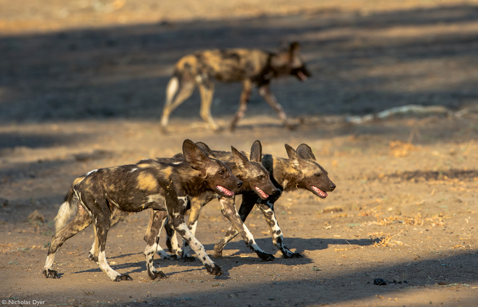 Three young painted wolves in Mana Pools in Zimbabwe