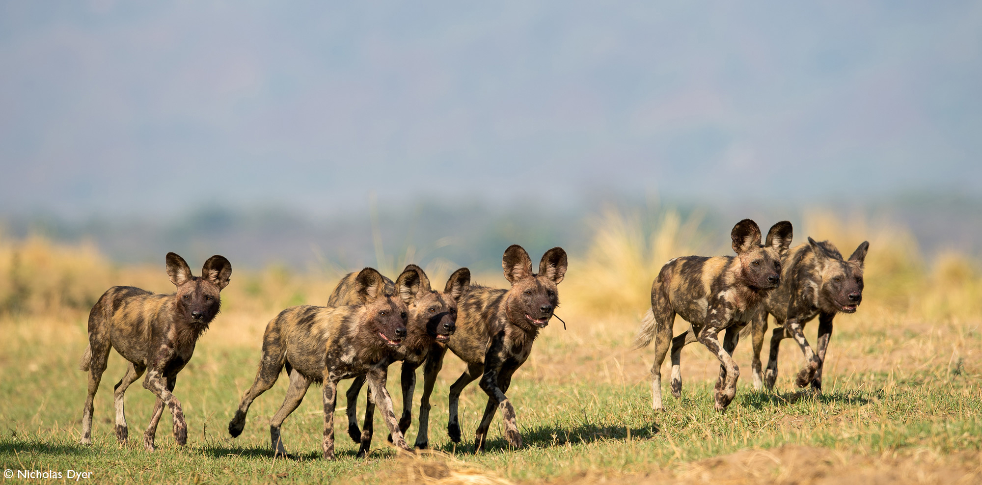 Painted wolves, African wild dogs, Nyamatusi Pack in Mana Pool, Zimbabwe