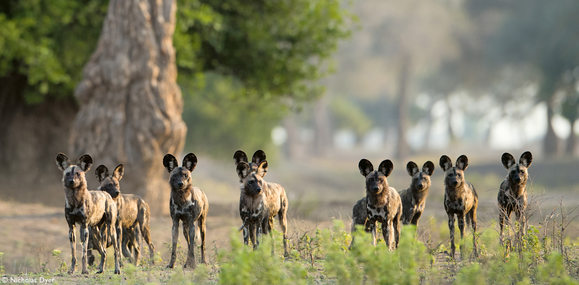 Painted wolf pack, African wild dog pack, in Mana Pools in Zimbabwe