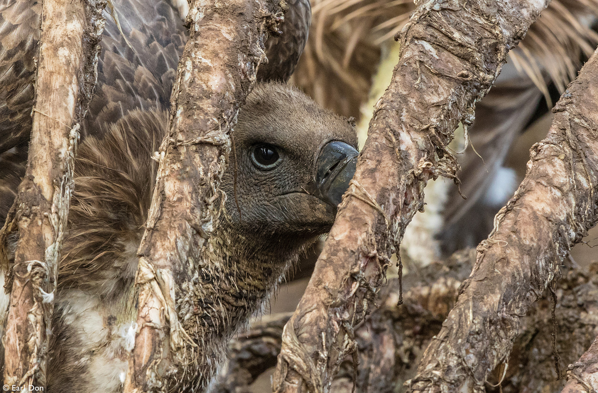 Vulture inside rib cage of carcass in Mashatu Game Reserve in Botswana