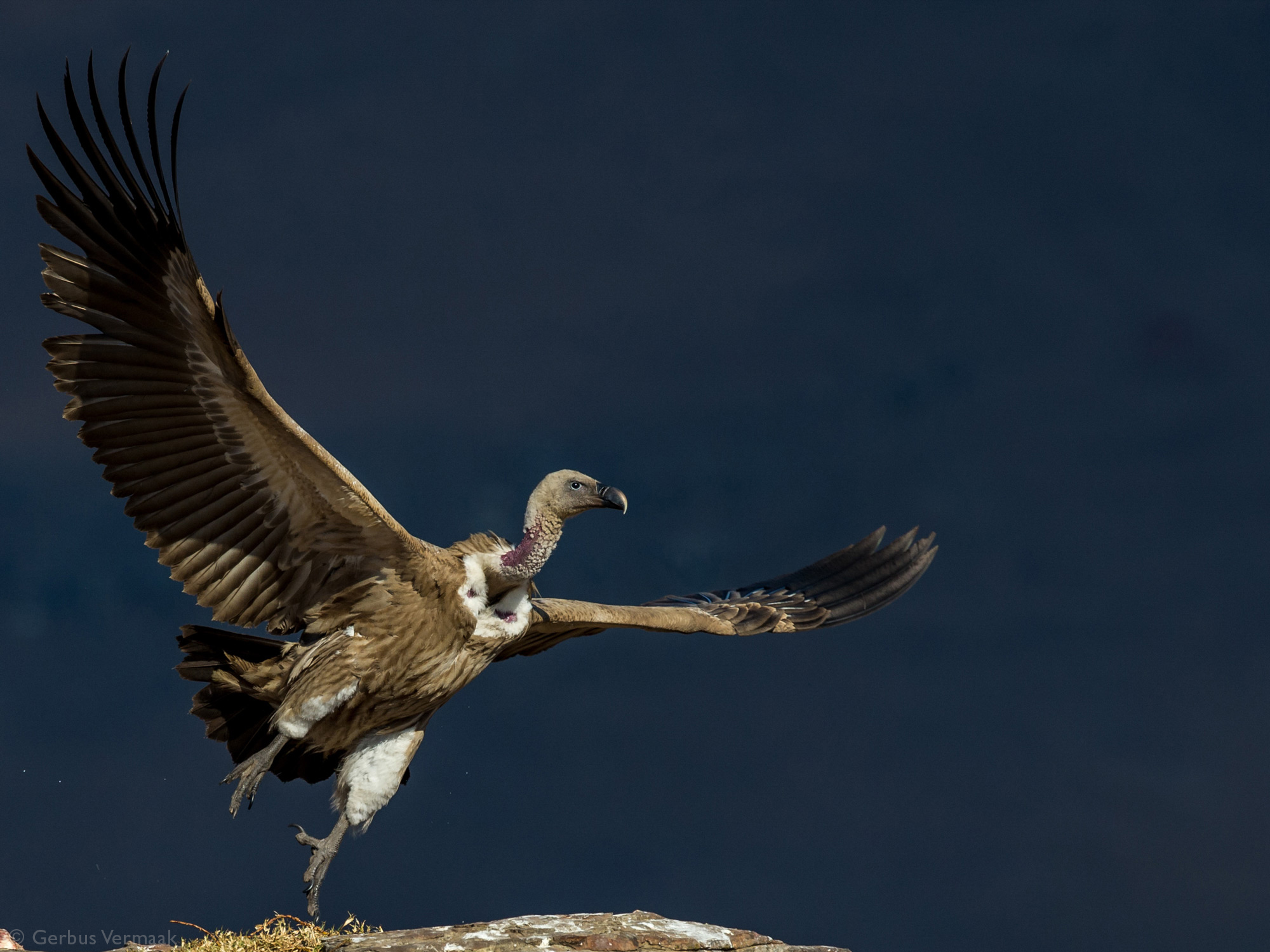 A white-backed vulture takes off at Giant's Castle in the Drakensberg