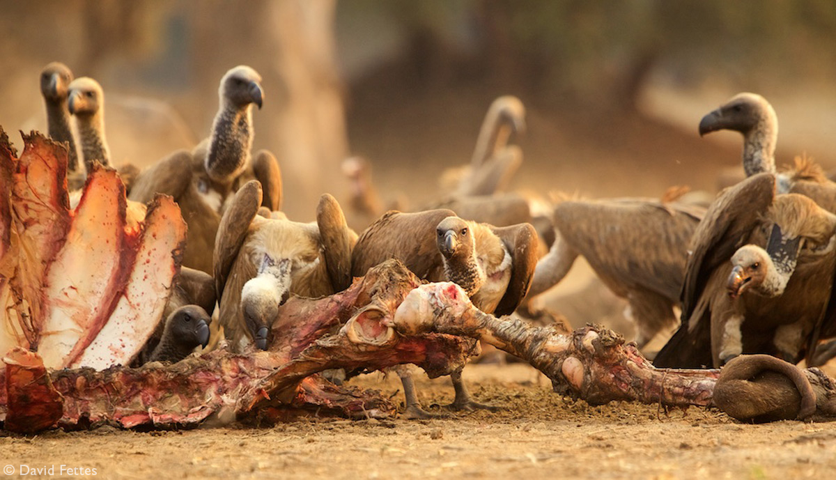White-backed vultures at a large carcass in Mana Pools National Park
