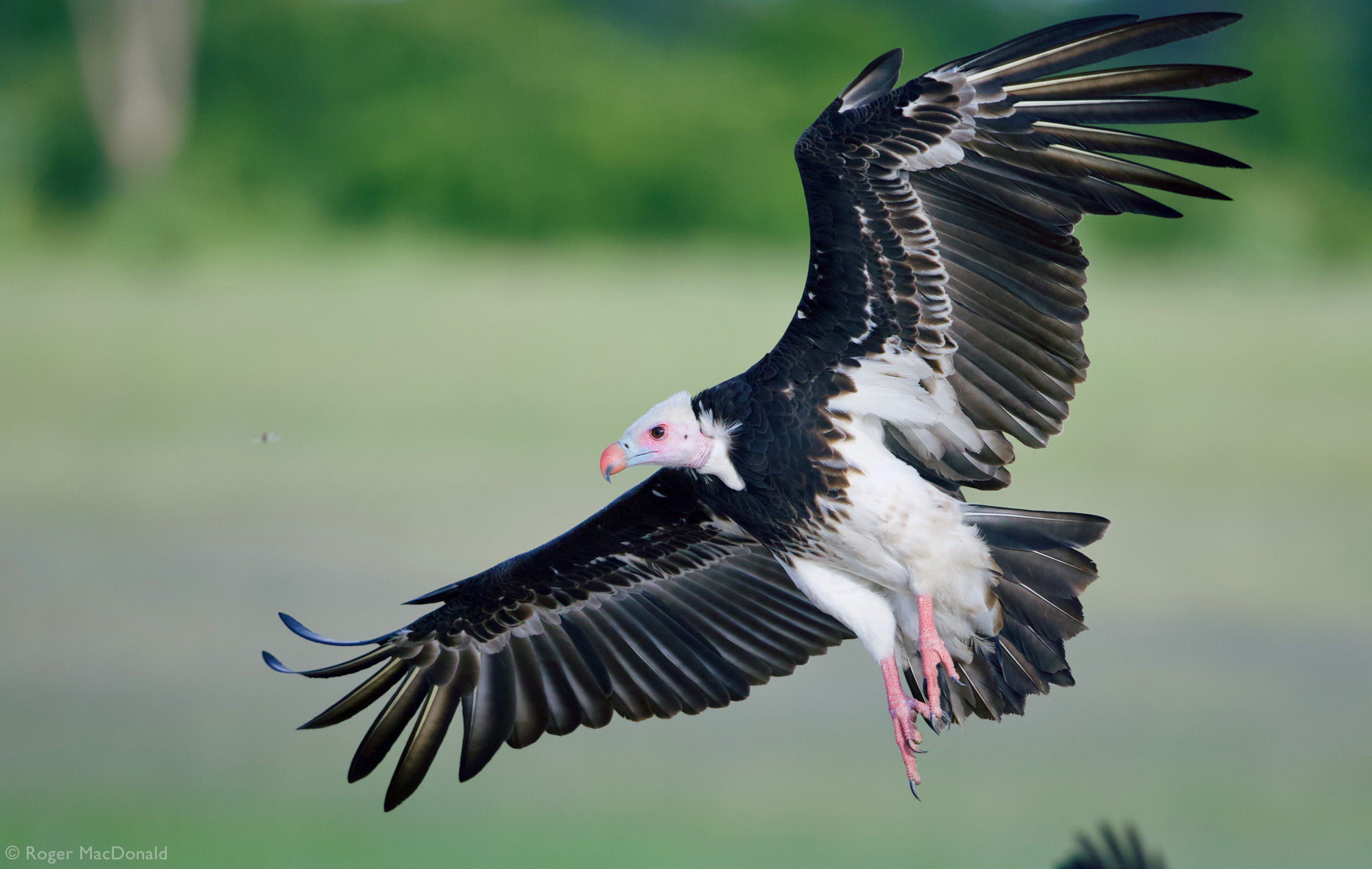 A white-headed vulture comes in to land in Hwange National Park, Zimbabwe