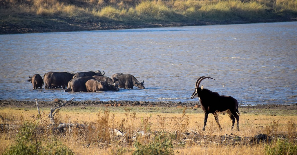 Buffaloes and sable by a waterhole
