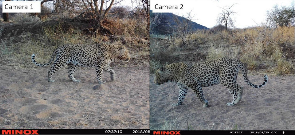 Camera trap images showing two leopards, leopard census in Namibia
