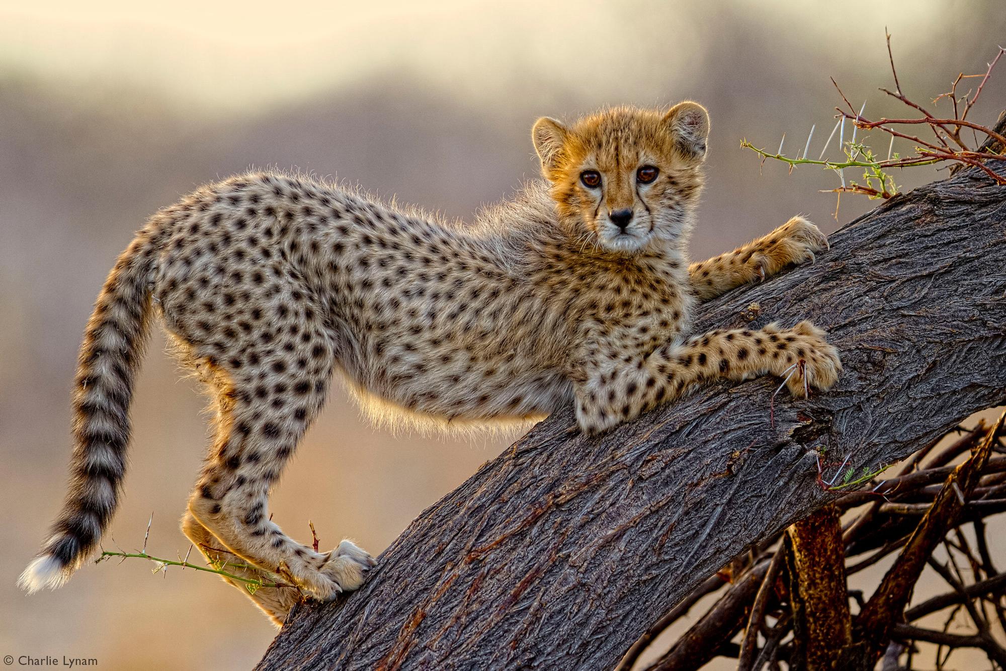 Cheetah cub playing on tree in Etosha National Park, Namibia