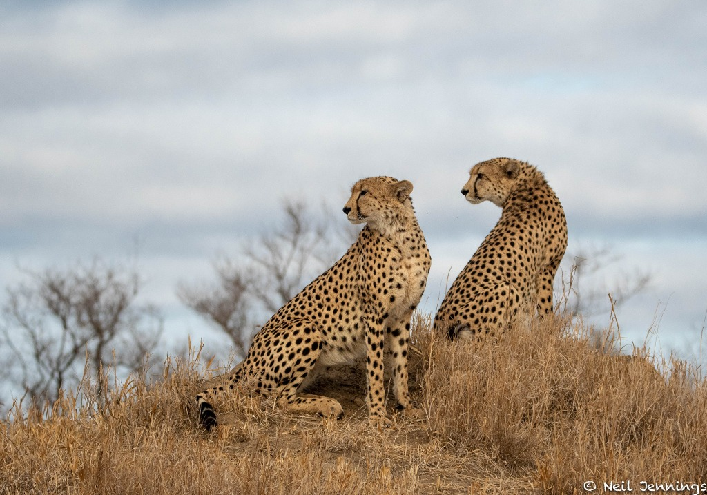 Two male cheetahs in Greater Kruger