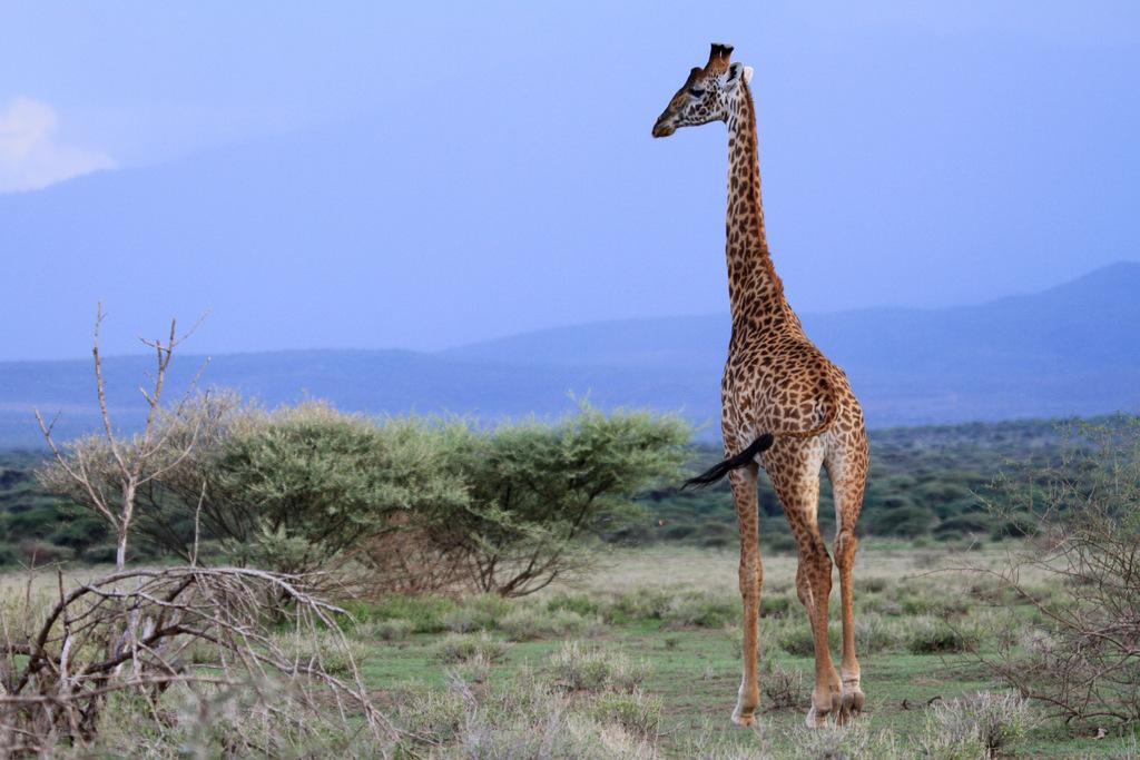 Giraffe at Monduli Juu in Tanzania