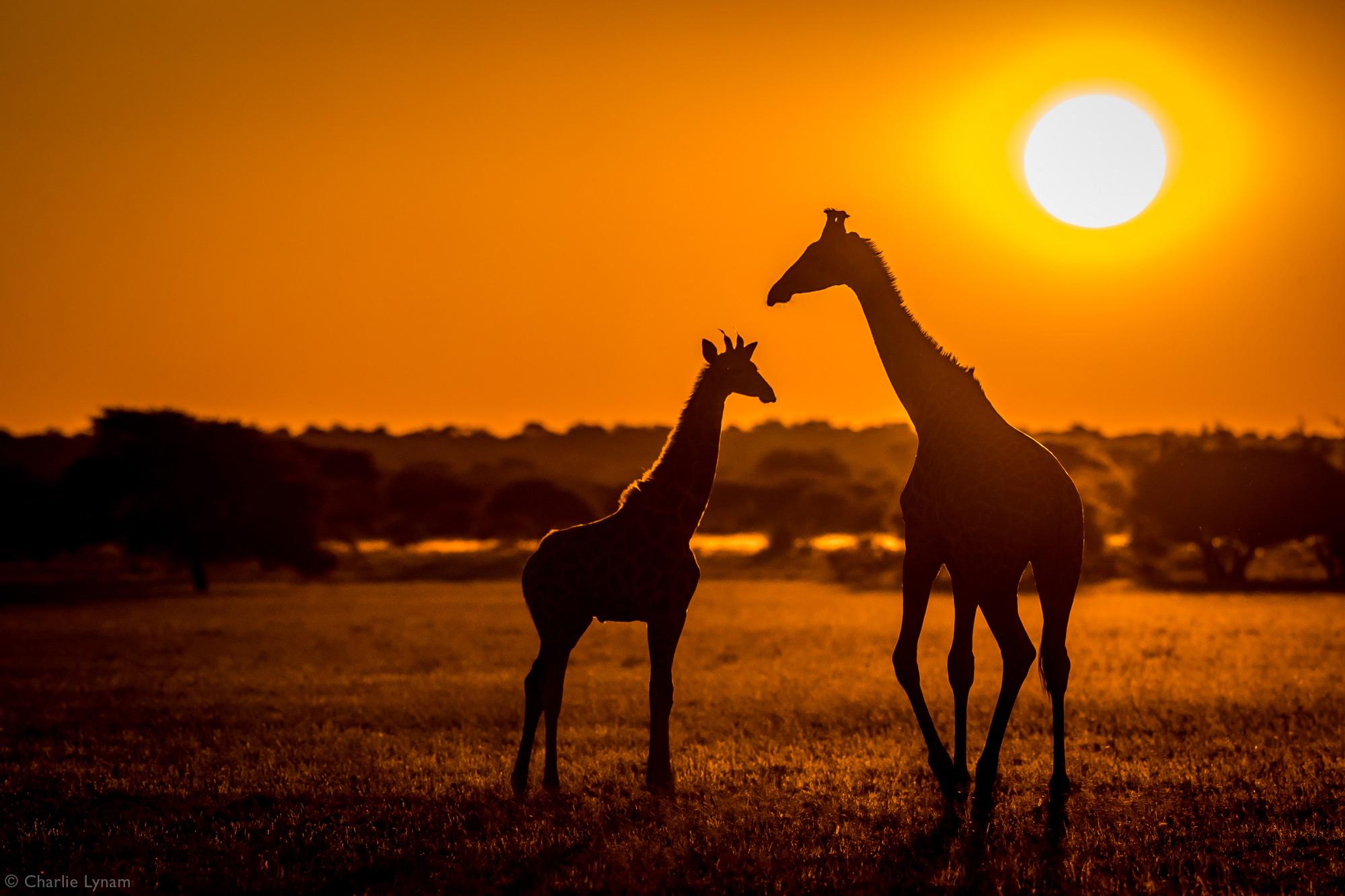 Two giraffes at sunset in Central Kalahari Game Reserve, Botswana