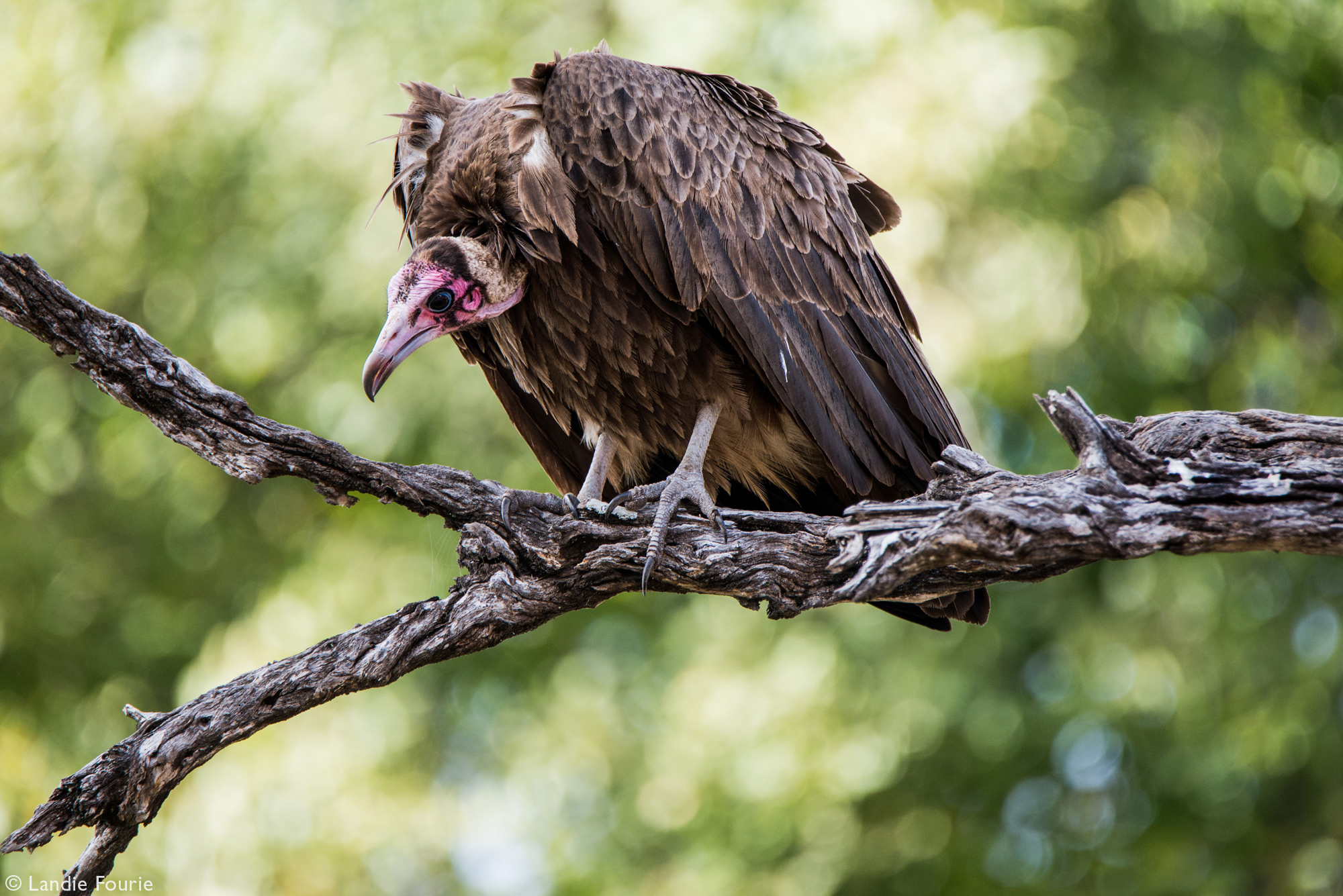 A hooded vulture looks down at a carcass from a high vantage point, Kruger National Park