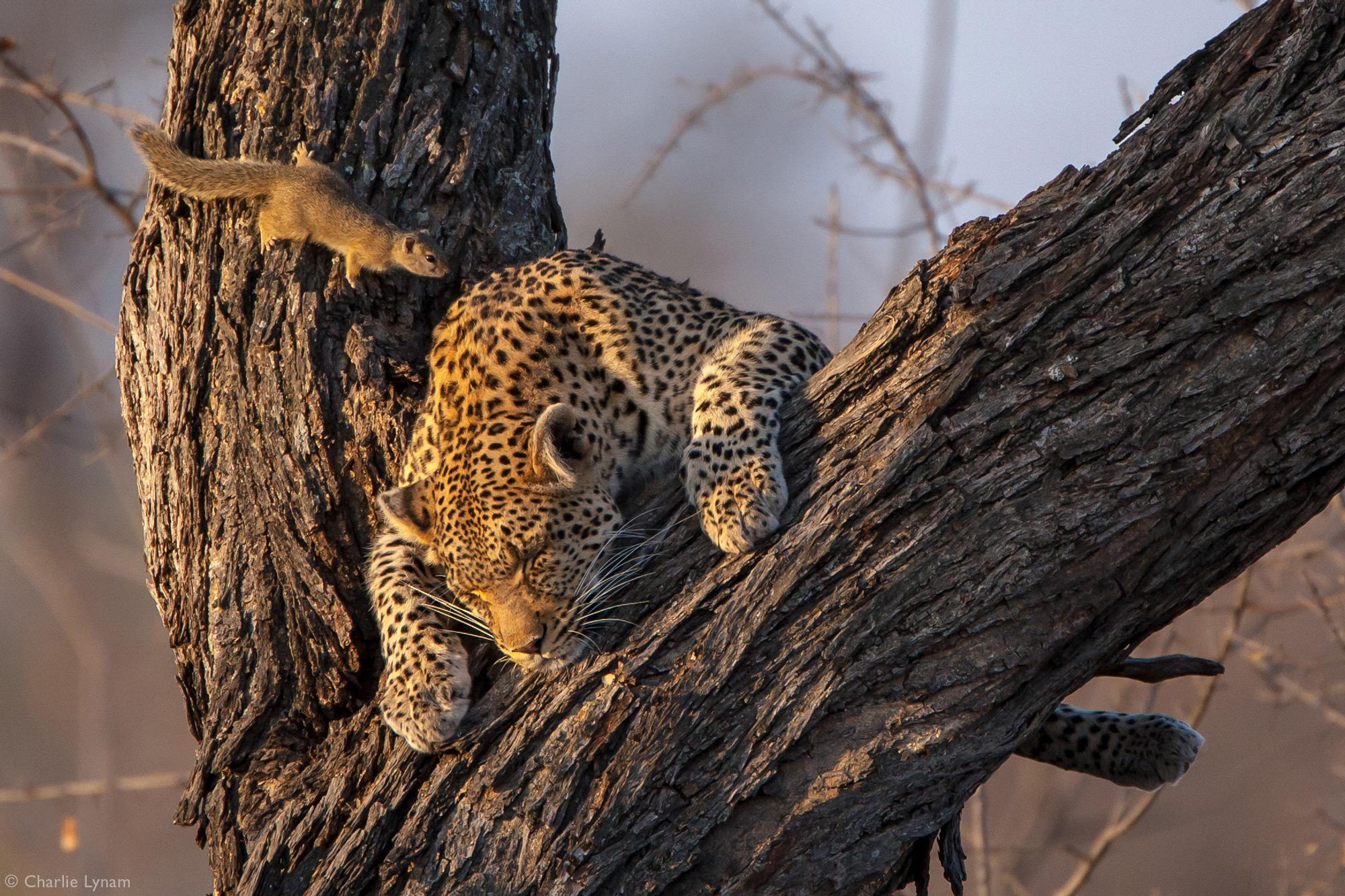 Tree squirrel approaching sleeping leopard in tree