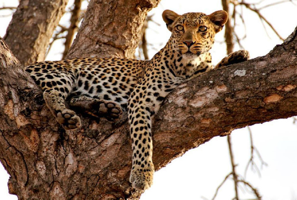Leopard sitting in a tree, leopard census in Namibia