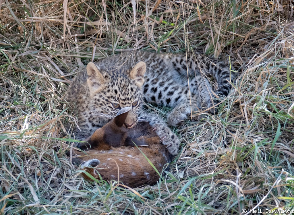 Nombethu leopard cub with baby antelope