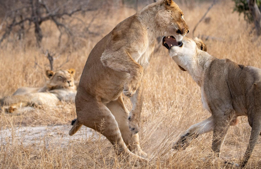Lions play-fighting in Greater Kruger