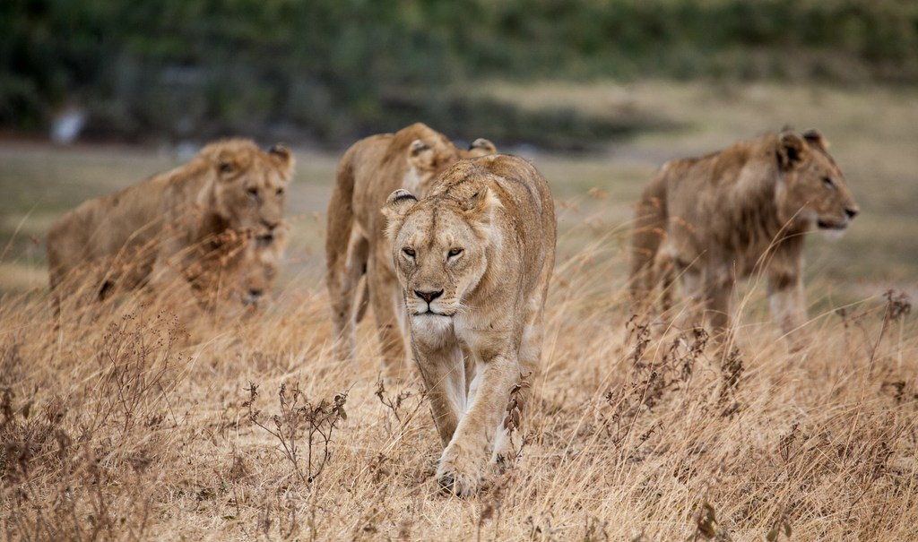 Lionesses and lions walking in the wild