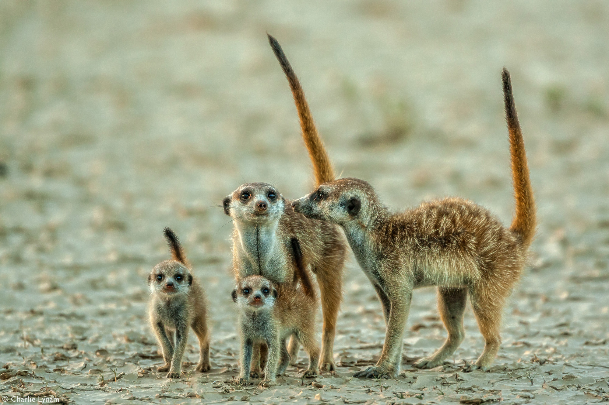 Meerkat adults with two babies