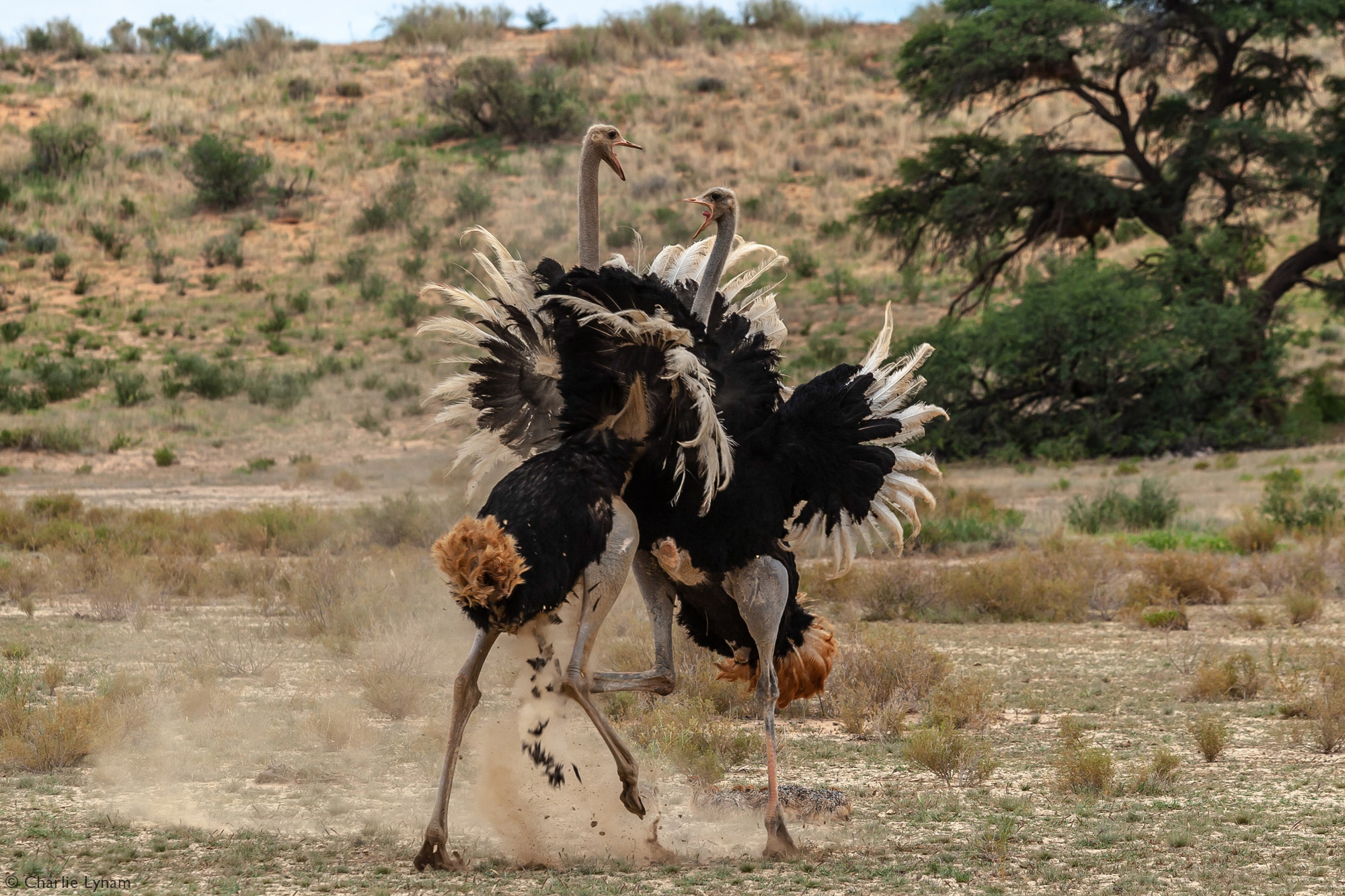 Two male ostriches fighting in Kgalagadi Transfrontier Park, South Africa