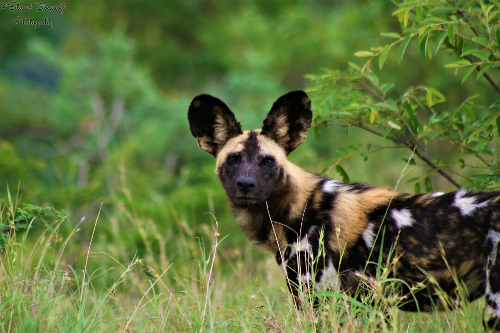 Painted wolf, African wild dog