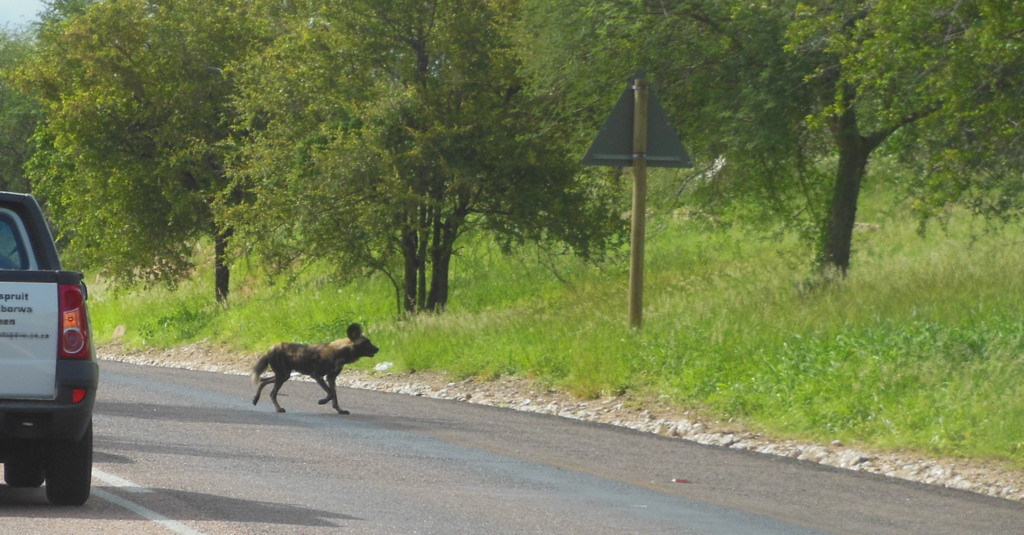 Painted wolf crossing the road, African wild dog