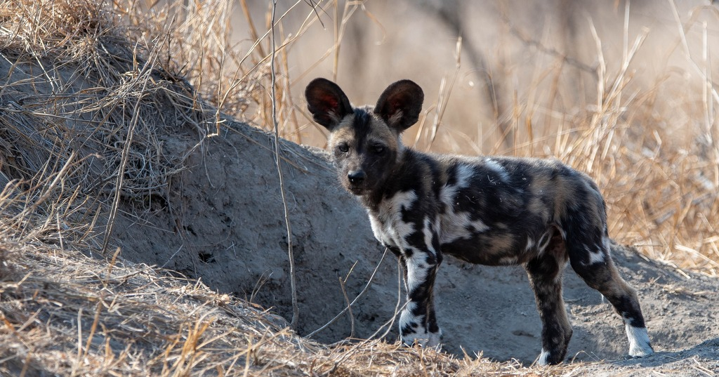 Painted wolf puppy, African wild dog, Greater Kruger
