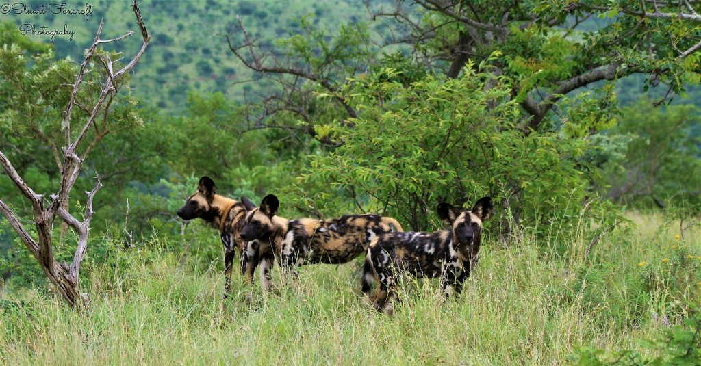Three painted wolves, African wild dogs