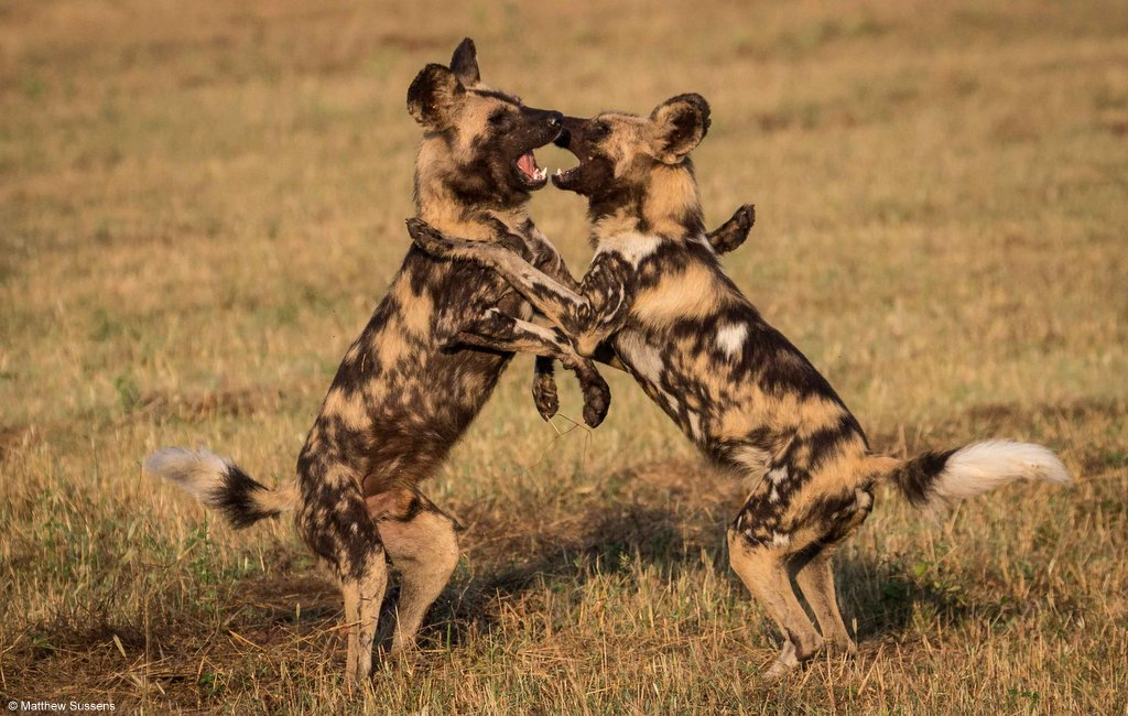 Two painted wolves playing, African wild dogs playing