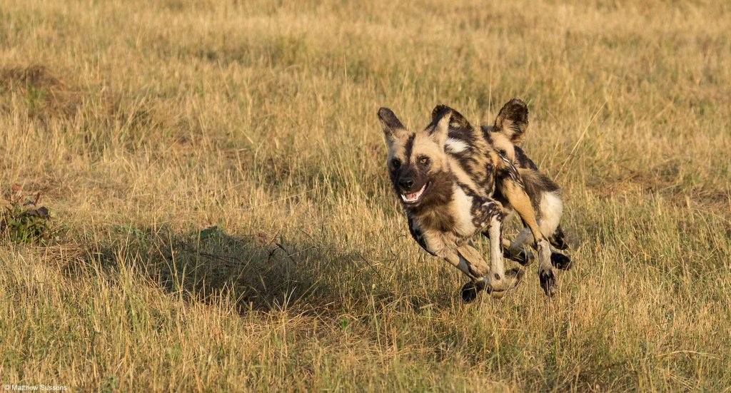 Painted wolves running, African wild dogs running