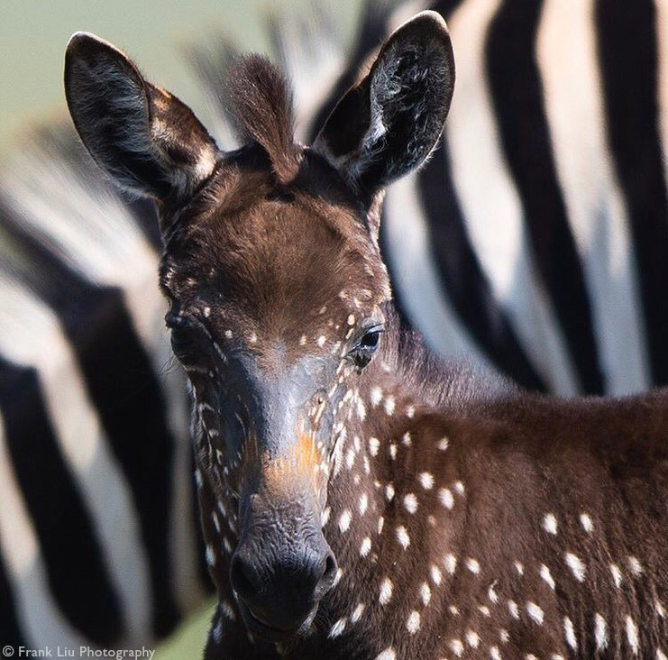Zebra foal with pseudo-melanistic colouring in Maasai Mara in Kenya