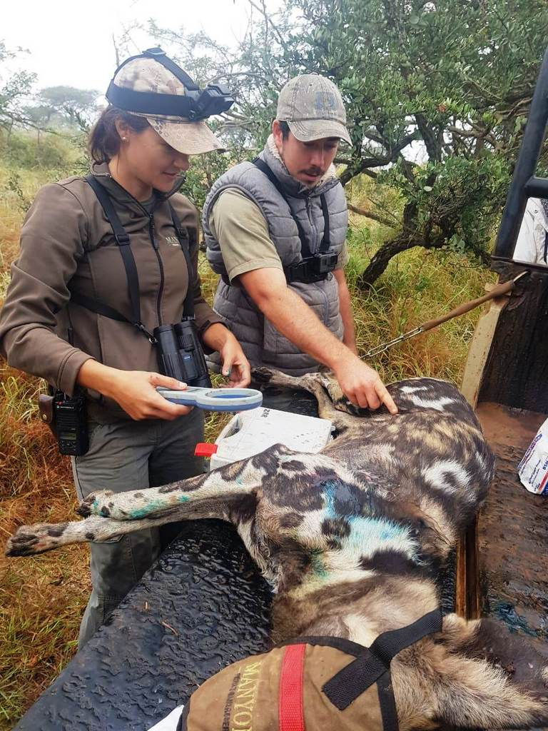 Team inspecting injured painted wolf, African wild dog