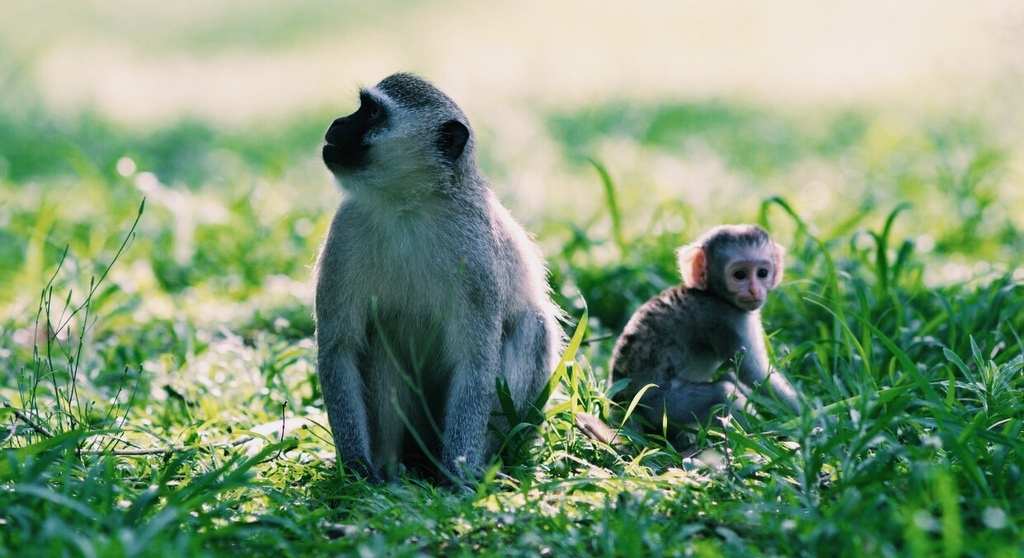 Vervet monkey mother with its baby