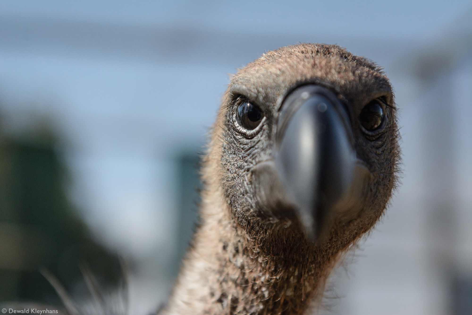 Close up of a vulture's face