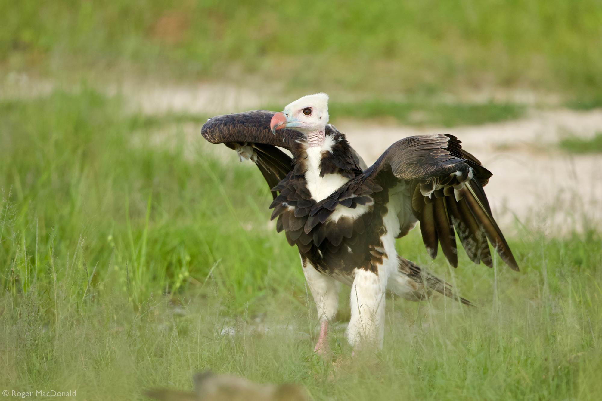 A white-headed vulture on the ground