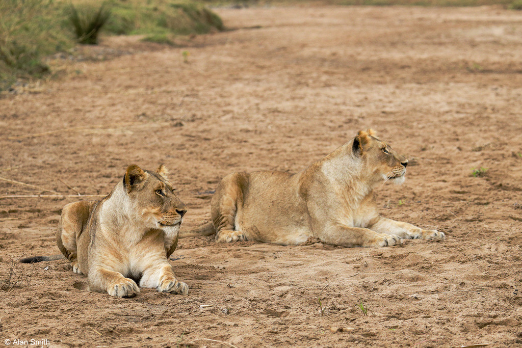 Two lionesses sitting in dry riverbank, Zimanga, KwaZulu-Natal, South Africa