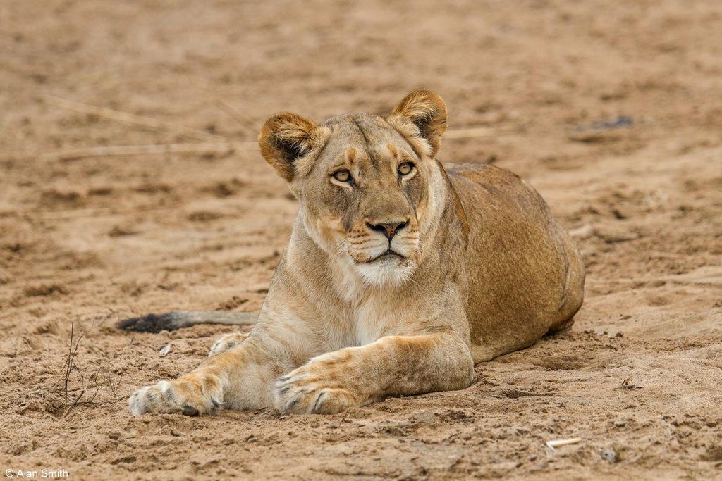 Lioness, Zimanga, KwaZulu-Natal, South Africa