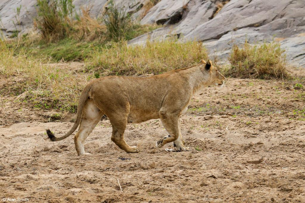 Lionesses approaching cliff, Zimanga, KwaZulu-Natal, South Africa