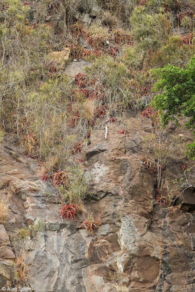 Lioness on cliff face, Zimanga, KwaZulu-Natal, South Africa