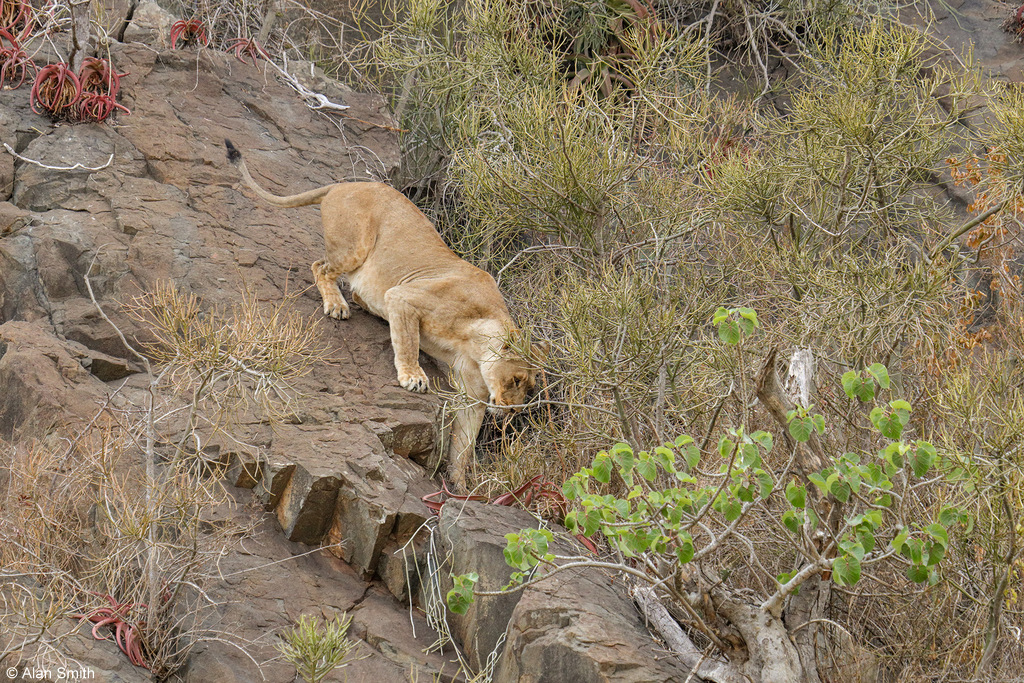 Lioness trying to make her way through cliff face, Zimanga, KwaZulu-Natal, South Africa