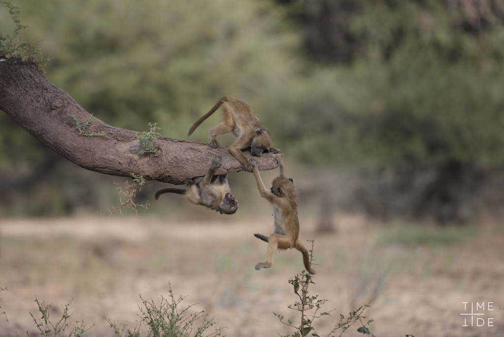 Baboons playing in Zambia